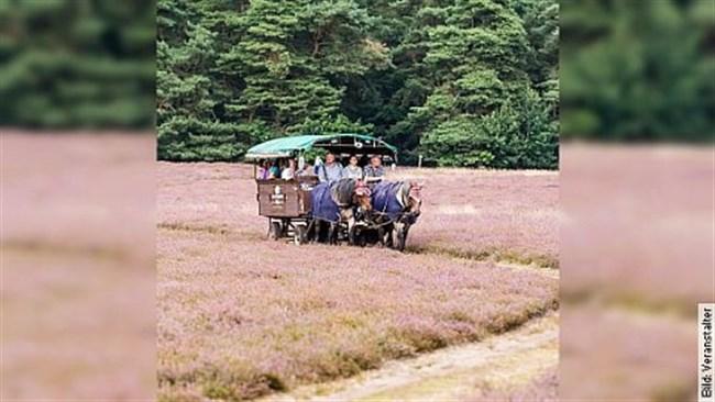 Fahrt zum Mittagessen - Planwagenfahrt zum Landgasthaus und in die Heide