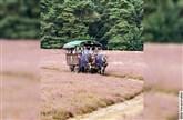 Heidefahrt - Planwagenfahrt in die Heide